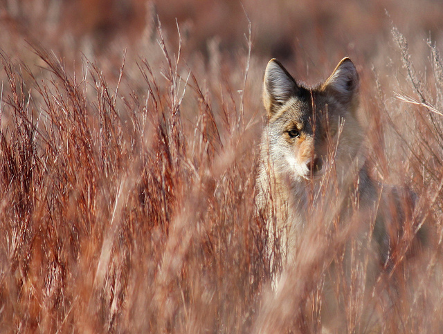 Coyotes may be more territorial in January-February