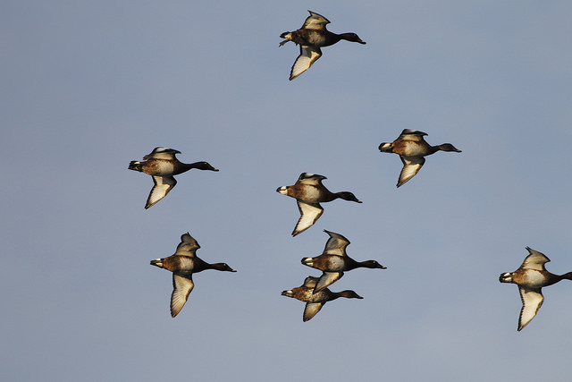 Kansas waterfowl Seasons to be approved August 20