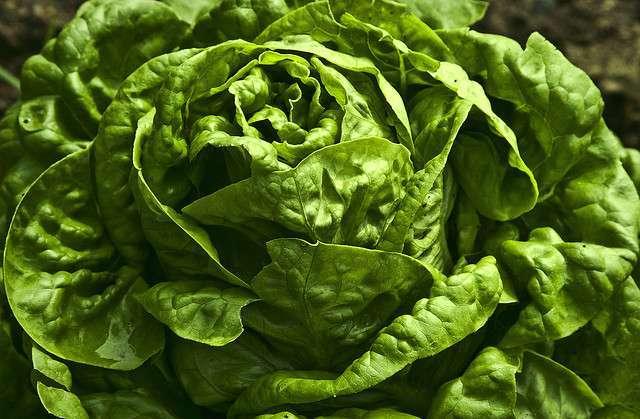 Lettuce sandy