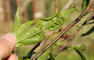 Approaching Time for Peach Leaf Curl Control