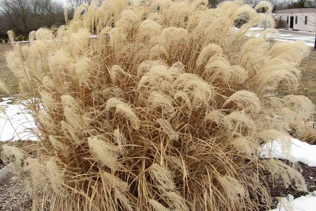 March is a Good Time to Cut Back Ornamental Grasses