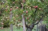 Apple Tree Sprays