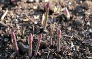 Asparagus and rhubarb in the autumn season