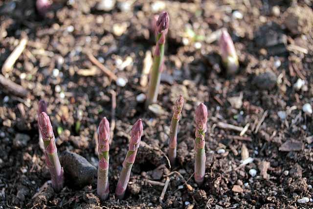 Asparagus Time