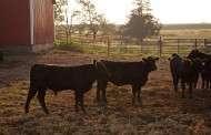Livestock Slaughter