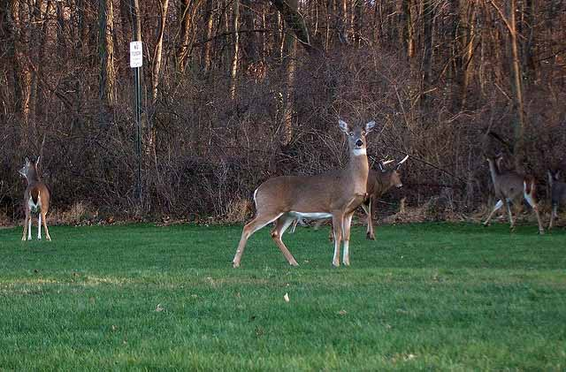Deer seasons to be set at March 26th Commission Meeting