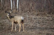 Apply For Nonresident Deer Permit By April 24
