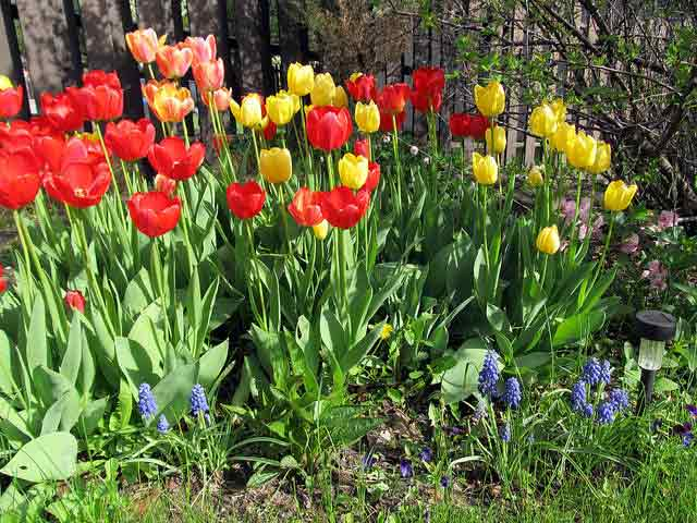 Care for Spring-Flowering Bulbs