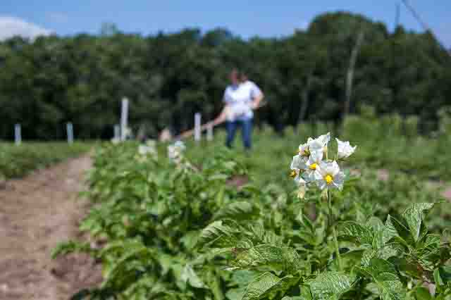 Time to Plant Potatoes Approaching