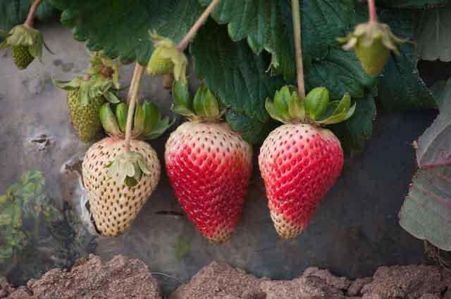 Strawberry Mulch Removal