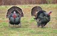 Public land turkey hunters encouraged to use iSportsman