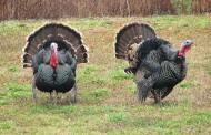 Trophy Turkey Program Recognizes Big Gobblers