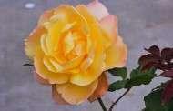 Rose Rosette