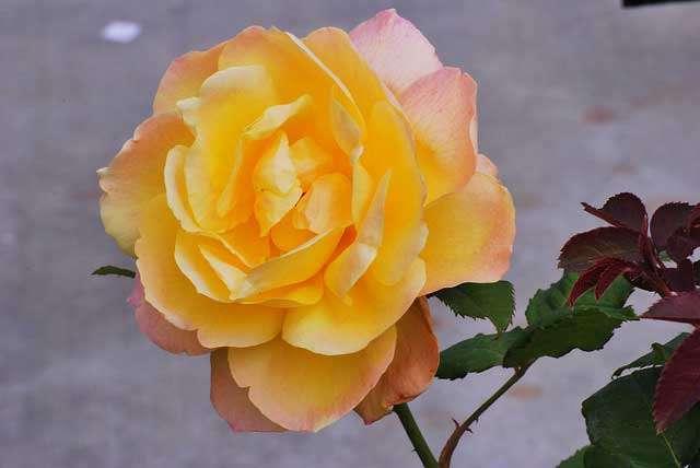Pruning Hybrid-Tea Roses