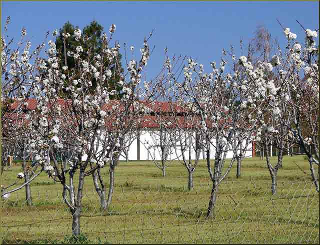 Kansas Fruit Tree Care: Dealing with Heavy fruit loads