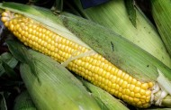 Common Smut on Sweet Corn