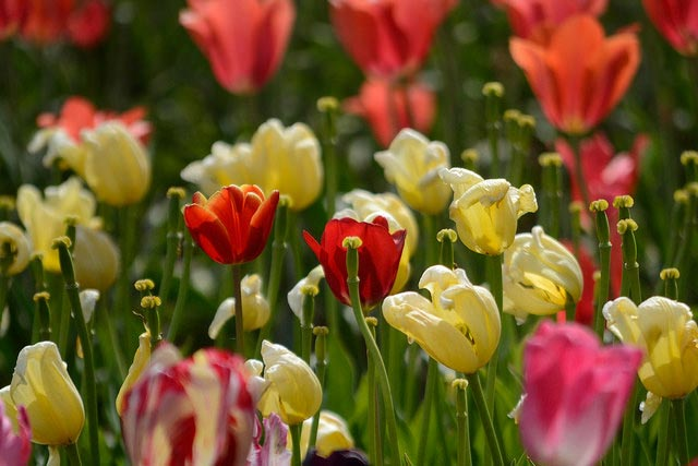 Fertilize Spring-flowering bulbs