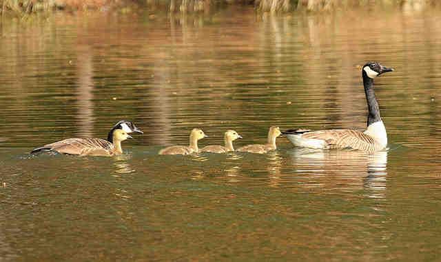 Burrton geese and goslings injured