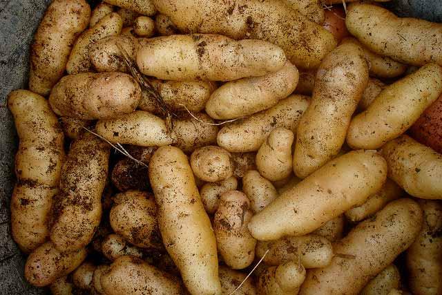 St. Patrick's Day means Kansas potato planting time