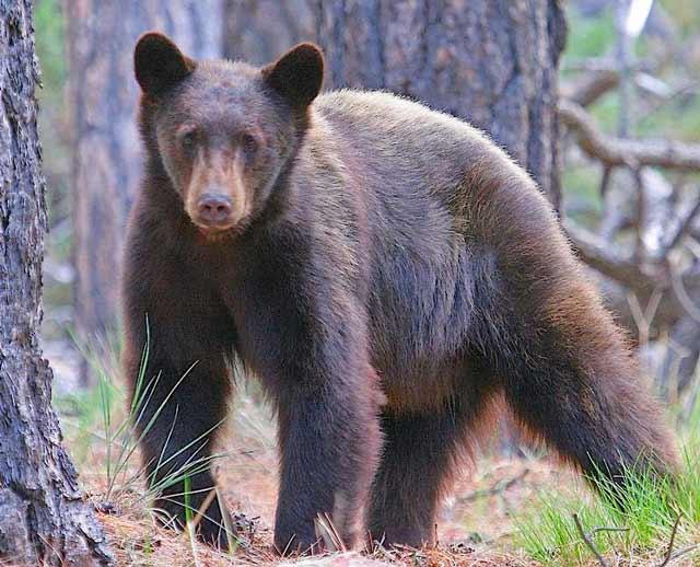 Bear pounces on woman eating dinner