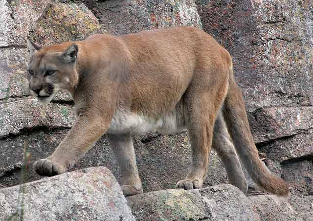 Commission holds hearing regarding mountain lion season - June 22