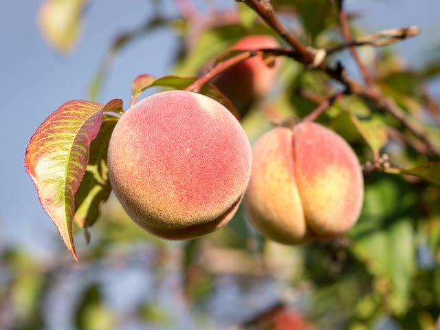 When to Pick Peaches