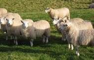 Sheep Graze on Solar Farms