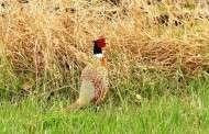 Pheasant nesting & habitat conditions