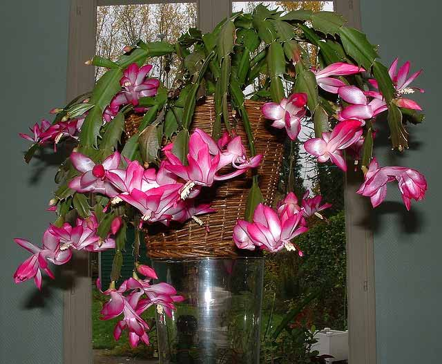 Reblooming Christmas and Thanksgiving Cacti