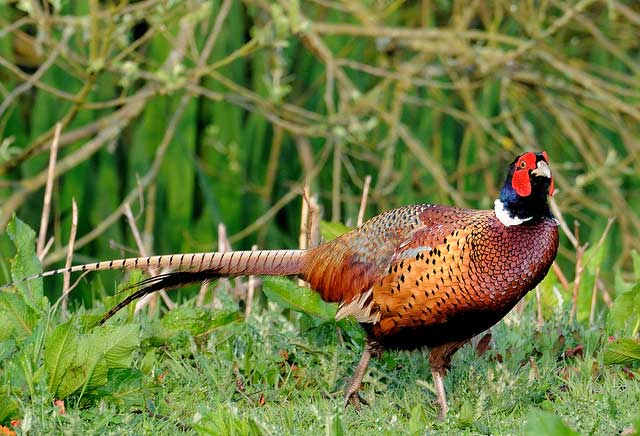Pheasant Hunting Forecast: 30 to 50 Percent Increases in Heart of Pheasant Range
