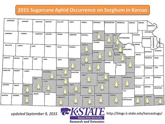 Sugarcane aphids are on the move through Kansas