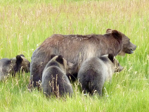 Yellowstone Grizzly Bear Recovery Successful