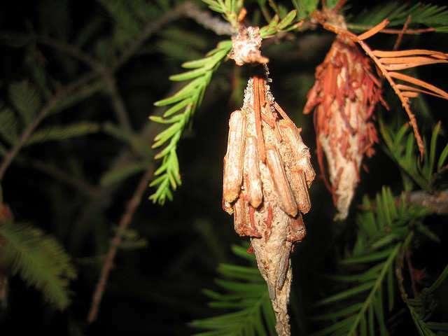 Kansas Bagworms