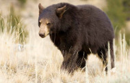 Black bear poached in Missouri