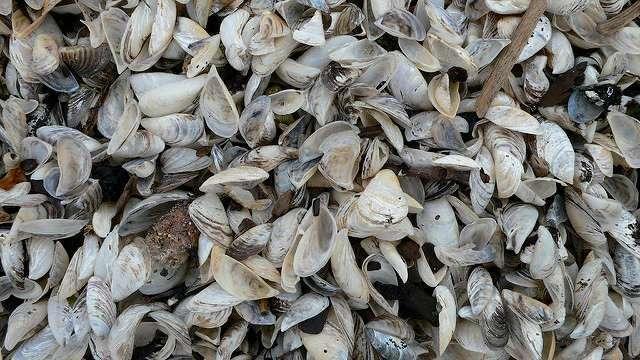 Zebra Mussels Found In Hillsdale Reservoir