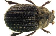 New Beetle Discovered in Nebraska