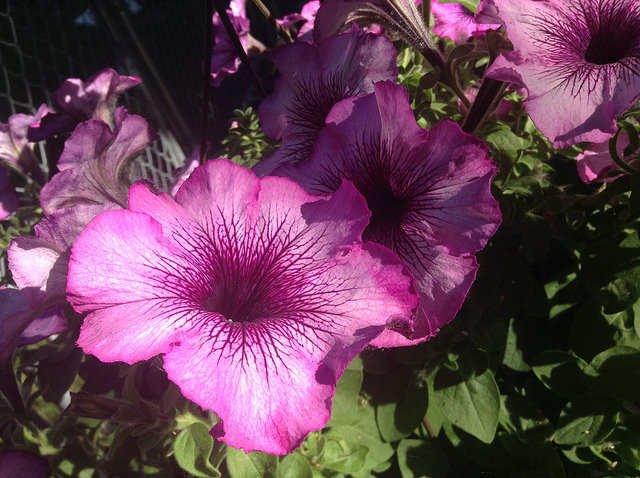 Geraniums and Petunias Beware of the Tobacco Budworm