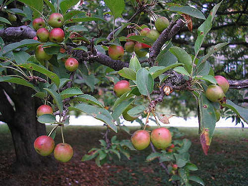 Are Crabapples Safe to Eat?