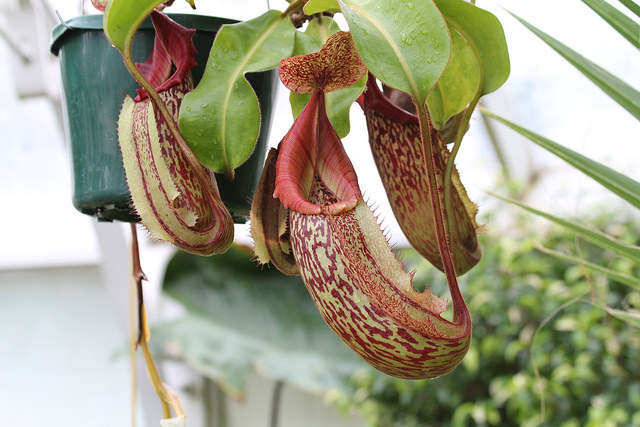Keeping Carnivorous Plants