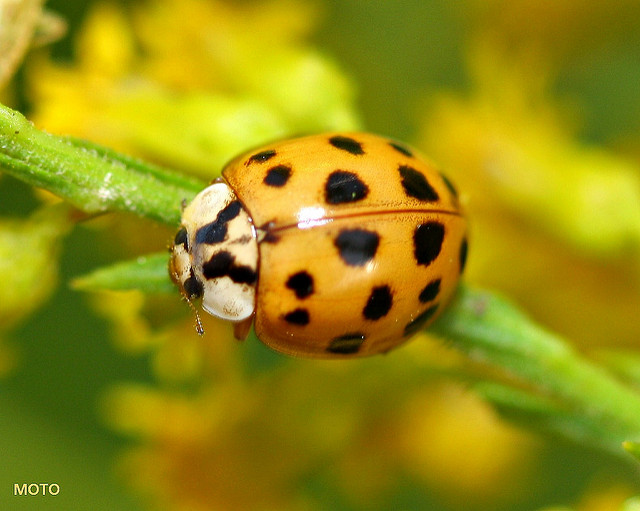 Asian Lady Beetle in the house