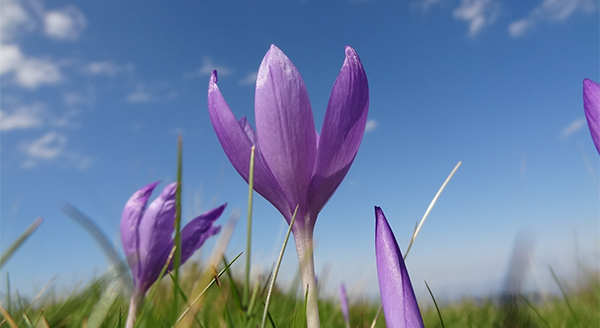 Autumn Crocus: A Touch of Spring in Fall