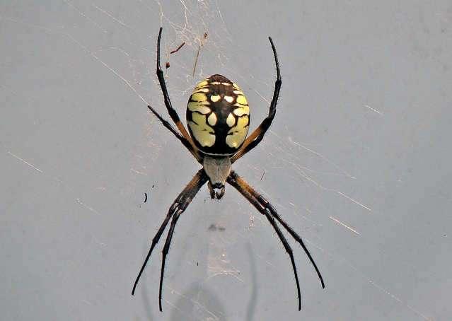 kansas garden spiders - Garden Spider