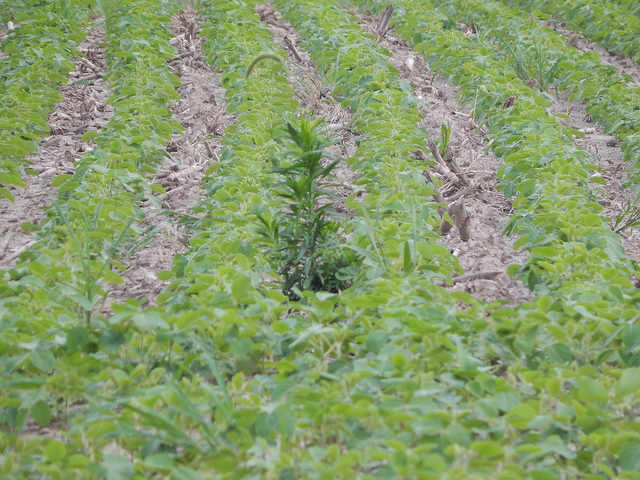 Controlling marestail in soybeans
