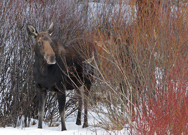 Safari Club International offers $2000 reward for information on Colorado moose poaching