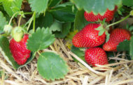 Fertilizing Strawberries and Brambles
