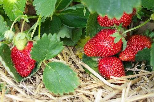 Winterizing Strawberry Plants