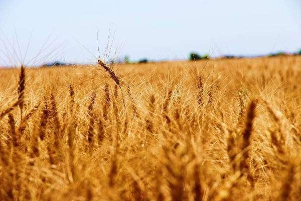 Day 3, Kansas Wheat Harvest Report