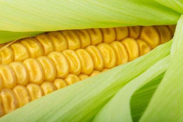 Sweet Corn Primer