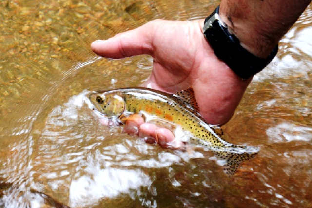 Colorado Parks and Wildlife Biologists make annual trip up Bear Creek to conserve rare trout