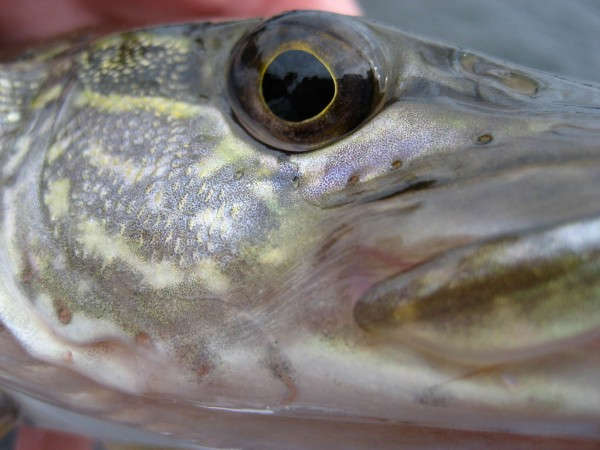 Twenty dollar reward for each northern pike caught at Green Mountain Reservoir